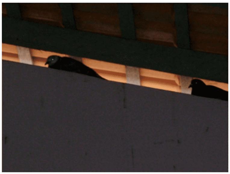 Piccioni sul tetto e nella zona della mensa.