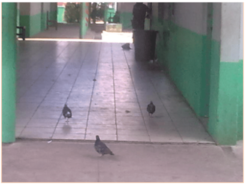 Piccioni nei corridoi della scuola