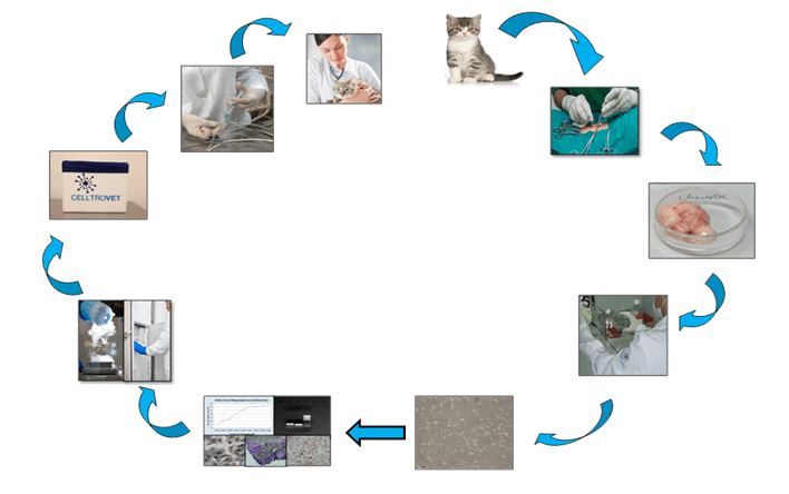 Um fragmento do tecido adiposo de um felino jovem, clínica e laboratorialmente saudável é coletado e encaminhado para o Laboratório da CELLTROVET. Neste as CTMs são isoladas, caracterizadas e armazenadas no Banco de Células-Tronco da CELLTROVET para posteriormente serem inoculadas nos animais selecionados.