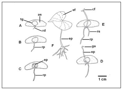 Aspecto morfológico do desenvolvimento da plântula de Dioscorea trifida, etnovariedade cará roxo. A – protrusão da raiz primária, B – alongamento da raiz primária, C – emissão do epicótilo, D – alongamento do epicótilo, E – abertura do catafilo, F – expansão do eofilo. as – asa, cf – catafilo, ef – eofilo, ep – epicótilo, ga – gema apical, rp – raiz primária, rs – raiz secundária.