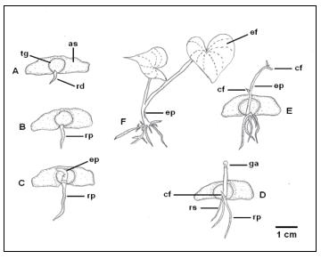 Aspectos morfológicos do desenvolvimento da plântula de Dioscorea trifida, etnovariedade cará branco. A – protrusão da raiz primária, B – alongamento da raiz primária, C – emissão do epicótilo, D – alongamento do epicótilo, E – abertura do catafilo, F – expansão do eofilo. as – asa, cf – catafilo, ef – eofilo, ep – epicótilo, ga – gema apical, rp – raiz primária, rs – raiz secundária.