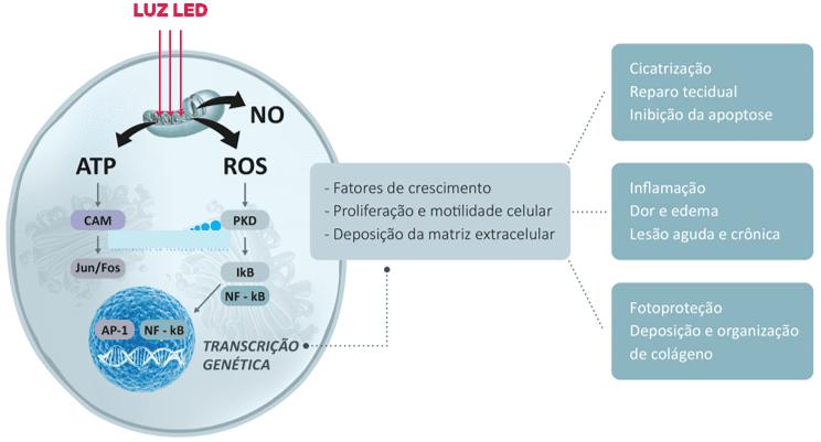 Figura 2 -Efeitos da emissão de LED na célula. Fonte: www. https://cosmedical.com.br/