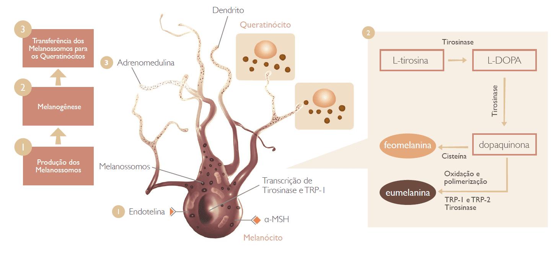 Figura 2 - Fonte: http://chemyunion.siteoficial.ws/novidades/biolumita-tripla-acao-para-uma-pele-mais-luminosa