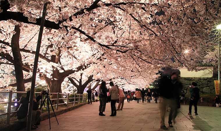 Figura 9-illuminato alberi del Castello di Fukuoka. Fonte: http://saku-hana.jp/gallery/gallery.html (2015)