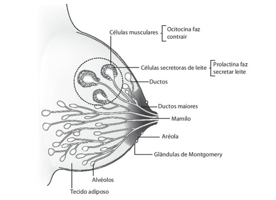 Figura 1: Esquema dos componentes da mama.Fonte: Guilherme e Nascimento (2013, p.6).
