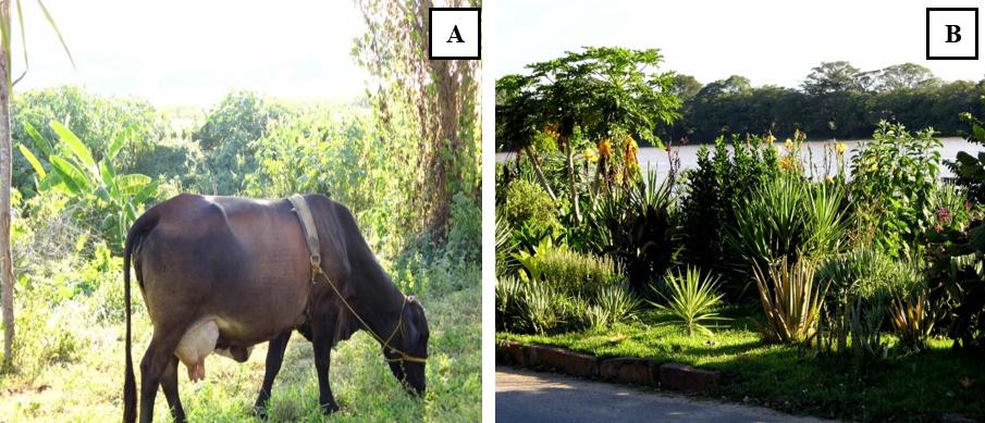 Figura 10: A) Presença de ruminantes e cultivo de banana no local. B) Presença de espécies exóticas na mata ciliar.Fonte: Acervo do autor