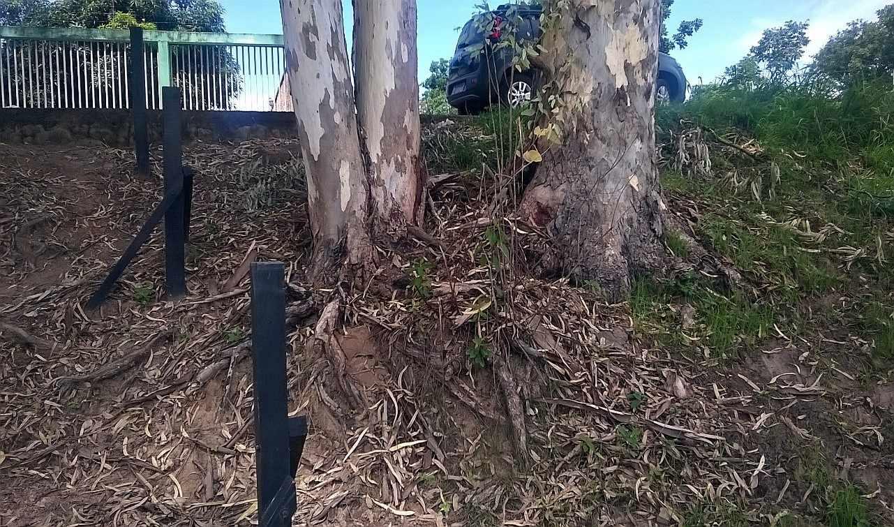 Figura 8: Árvores de eucalipto com sistema radicular exposto.Fonte: Acervo do autor