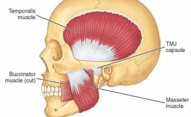 Resultado de imagem para temporal masseter capsula articular
