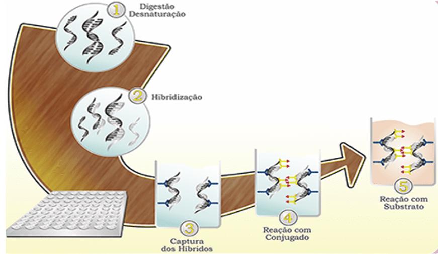 hpv papiloma virus captura hibrida